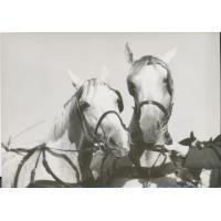 Para siwych koni holenderskich, 1975 r.